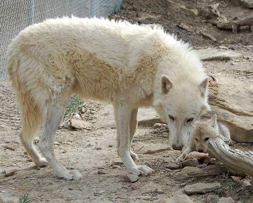 dads_wolf.jpg.638x0_q80_crop-smart