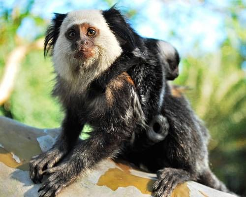 marmoset.jpg.638x0_q80_crop-smart