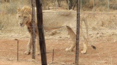 Zbídačení lvi