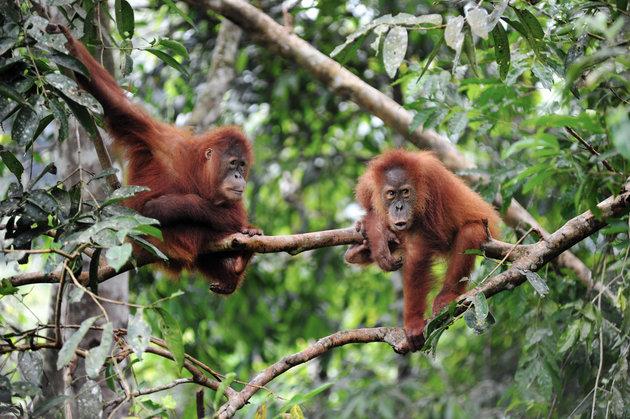 INDONESIA-WILDLIFE-ORANGUTAN