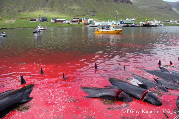news-160706-1-2-Faroes-Grind-112486_r_960_620-large.jpg