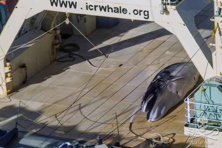 Chráněný plejtvák malý před rozčtvrcením na palubě velrybářské lodi Nisshin Maru.