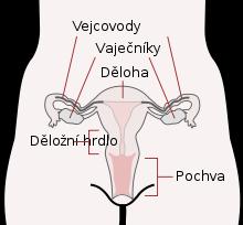 děloha.png