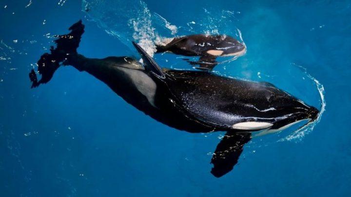 orcas-768x432.jpg